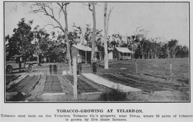 statelibqld_2_296483_tobacco_growing_at_a_yelarbon_near_texas_queensland_1931