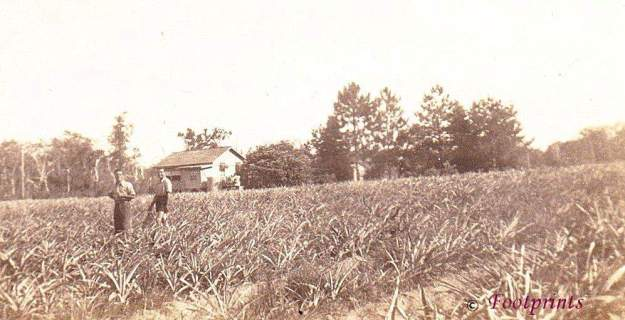Nambour.Angelo Capone & Nicola Serracino. G.D.Bury's pineapple farm. Bury's Road Beerwah.
